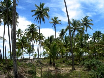 The palm trees. Barra Grande, 2011